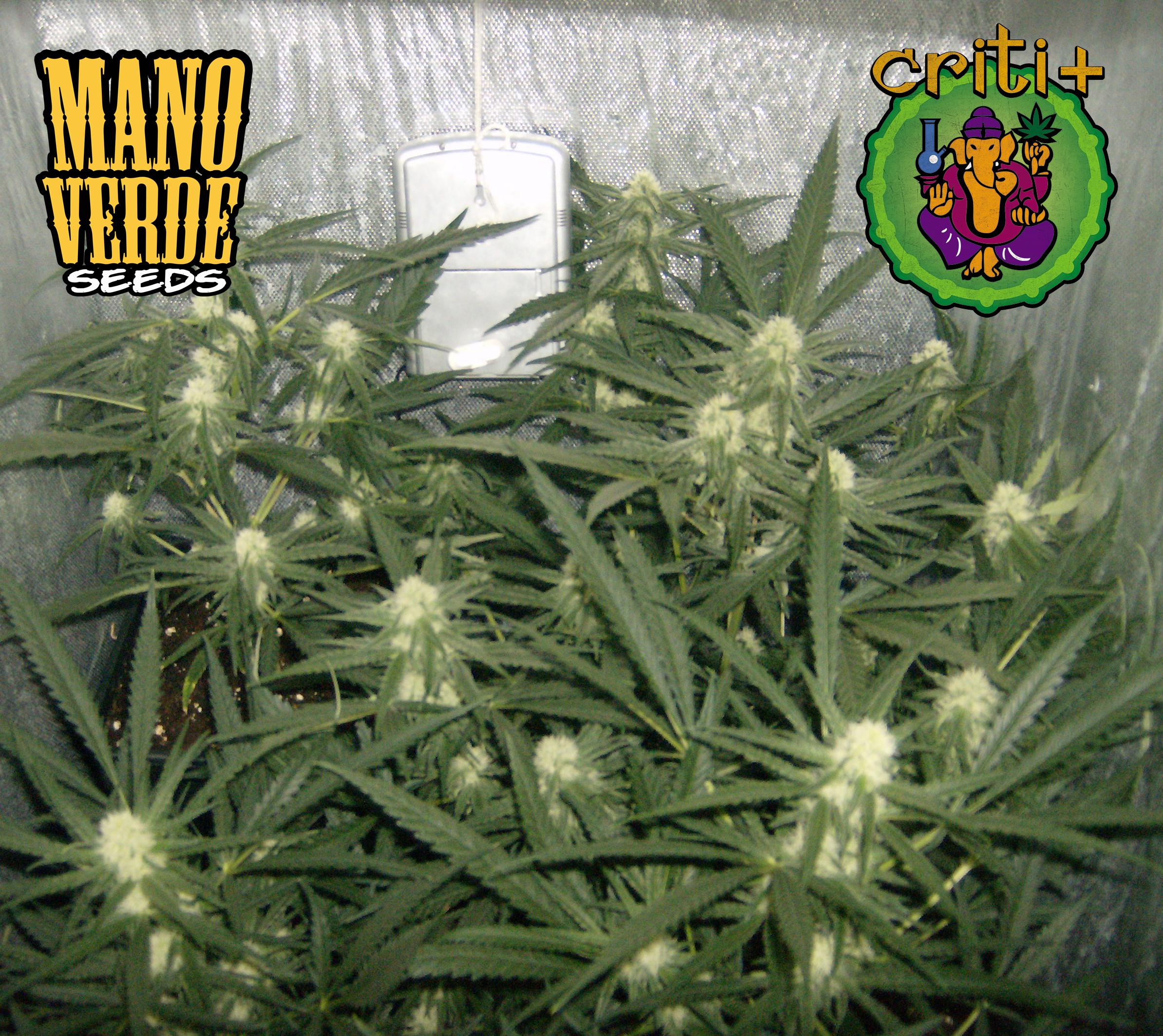 Criti+ Manoverde Seeds 24F - 230