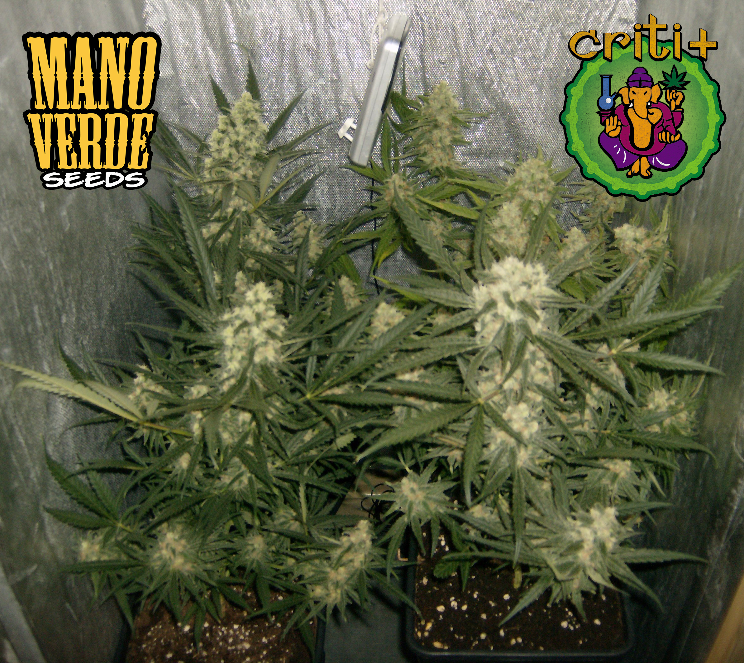 Criti+ Manoverde Seeds 42F - 230