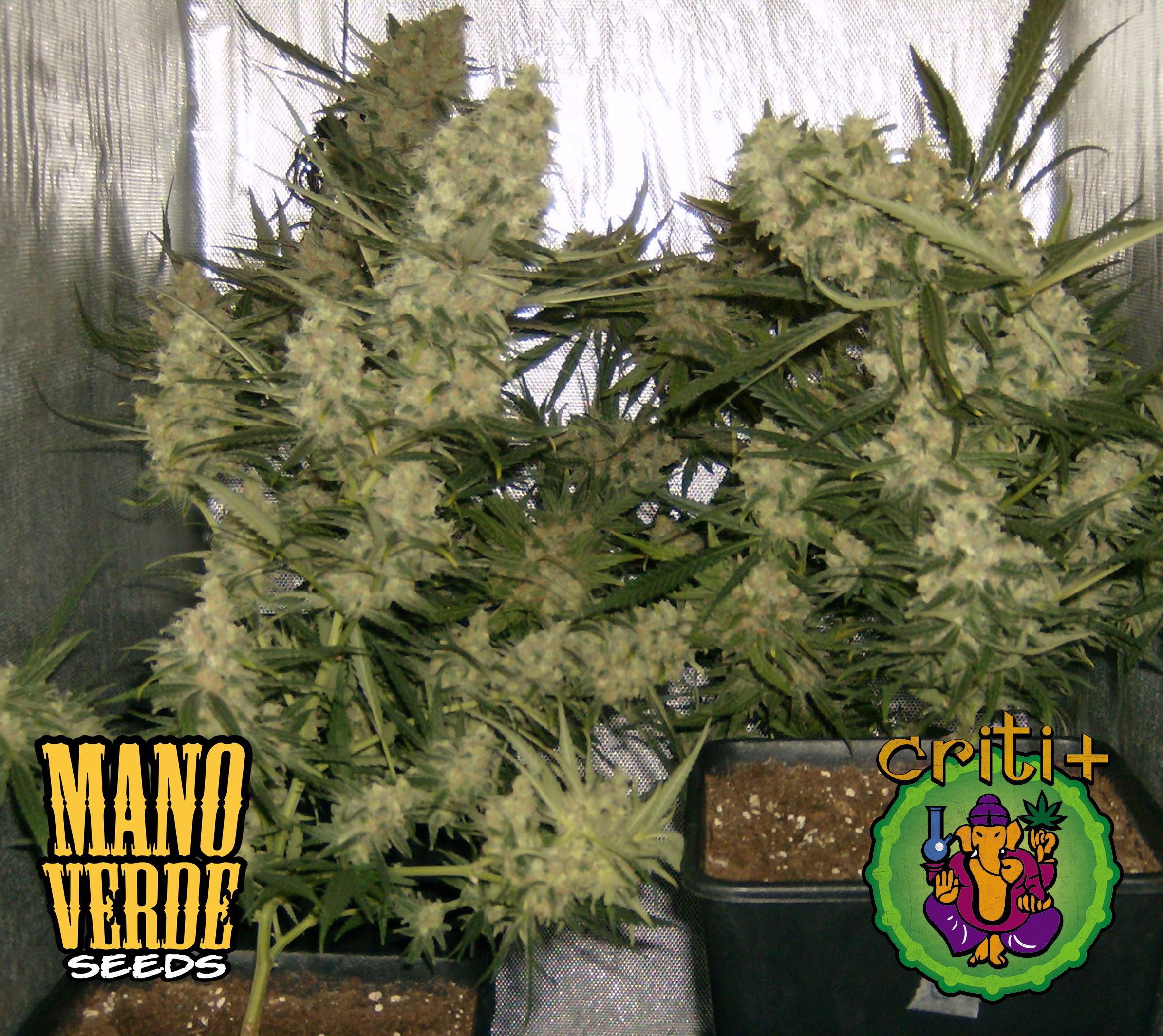 Criti+ Manoverde Seeds 55F - 230