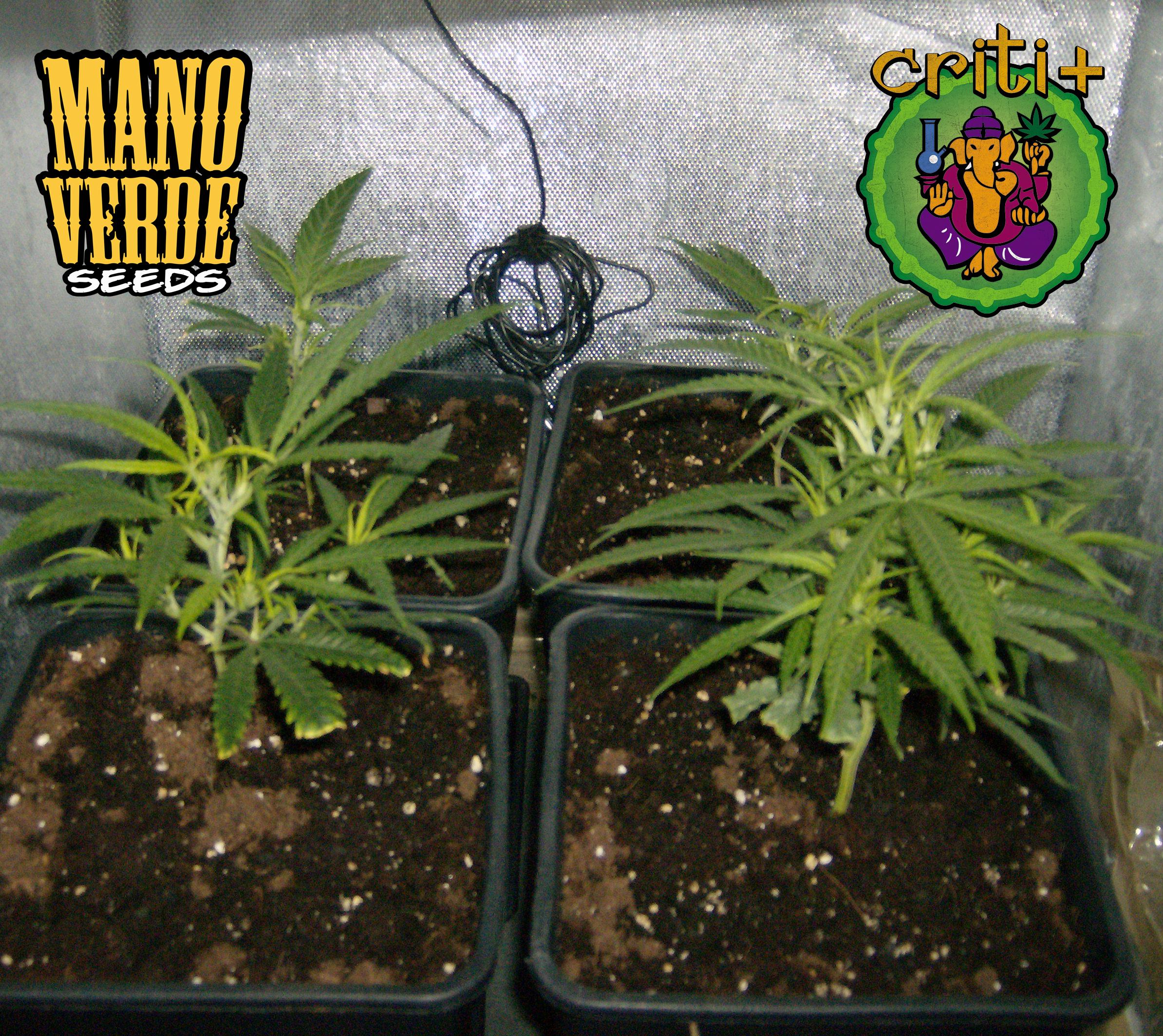 Criti+ Manoverde Seeds 5F - 230