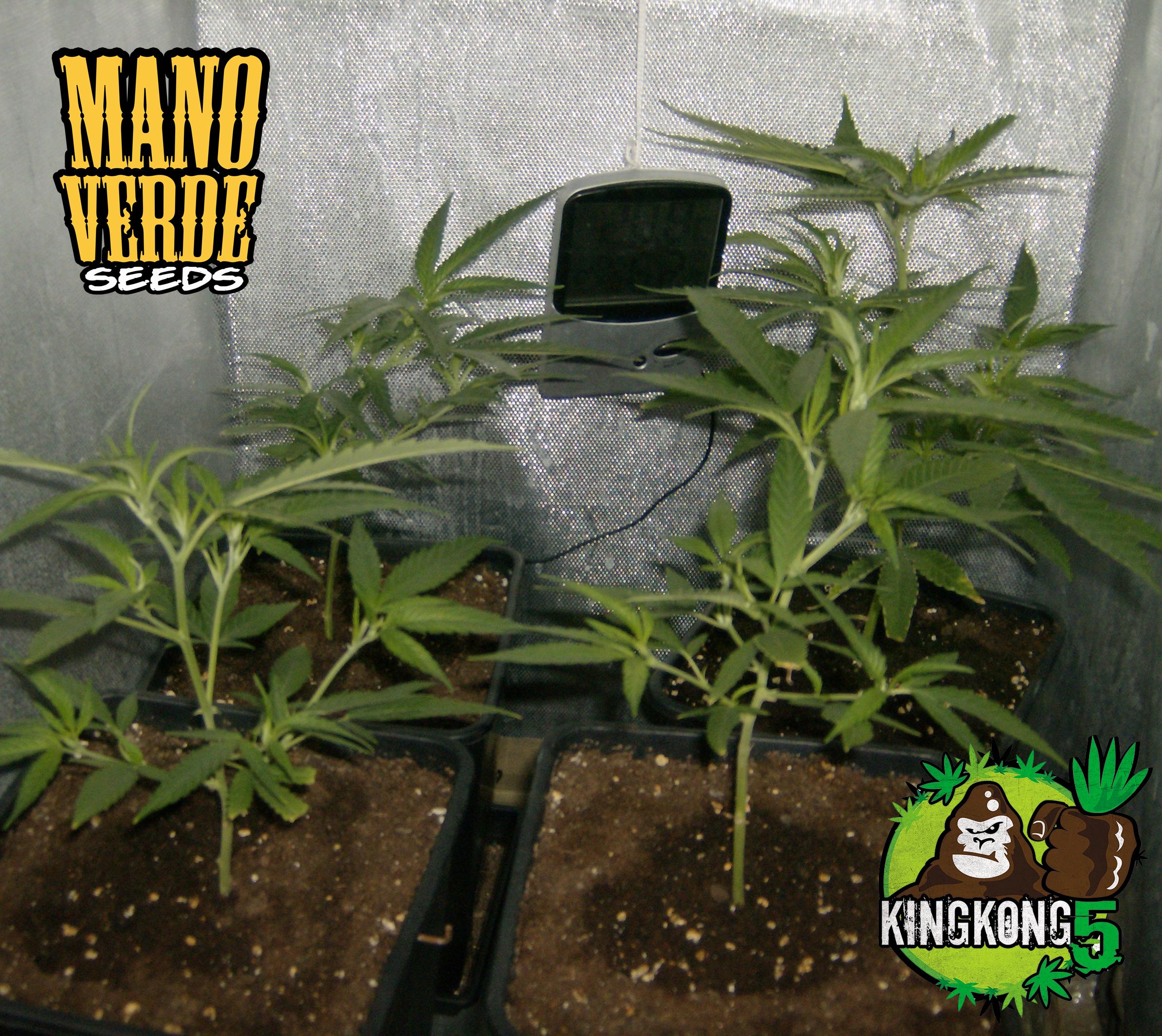 King Kong Five Manoverde Seeds 16C-3F-150