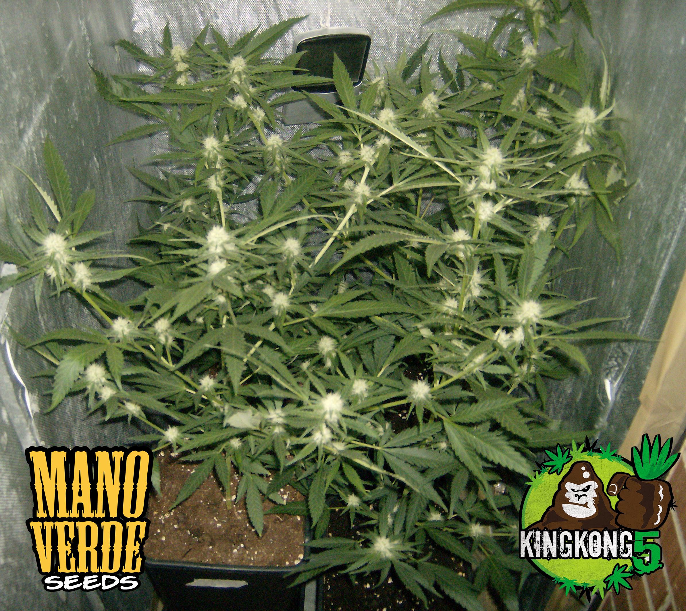 King Kong Five Manoverde Seeds 34C-21F-150