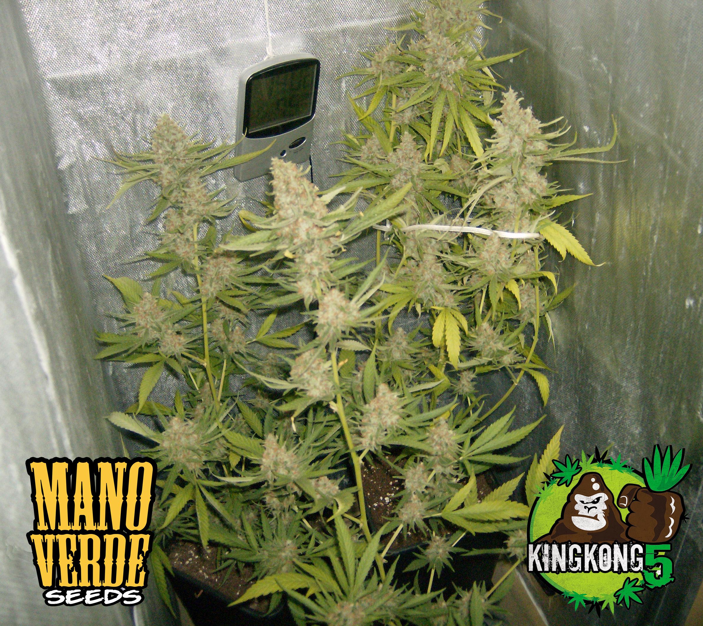 King Kong Five Manoverde Seeds 75C-62F-230