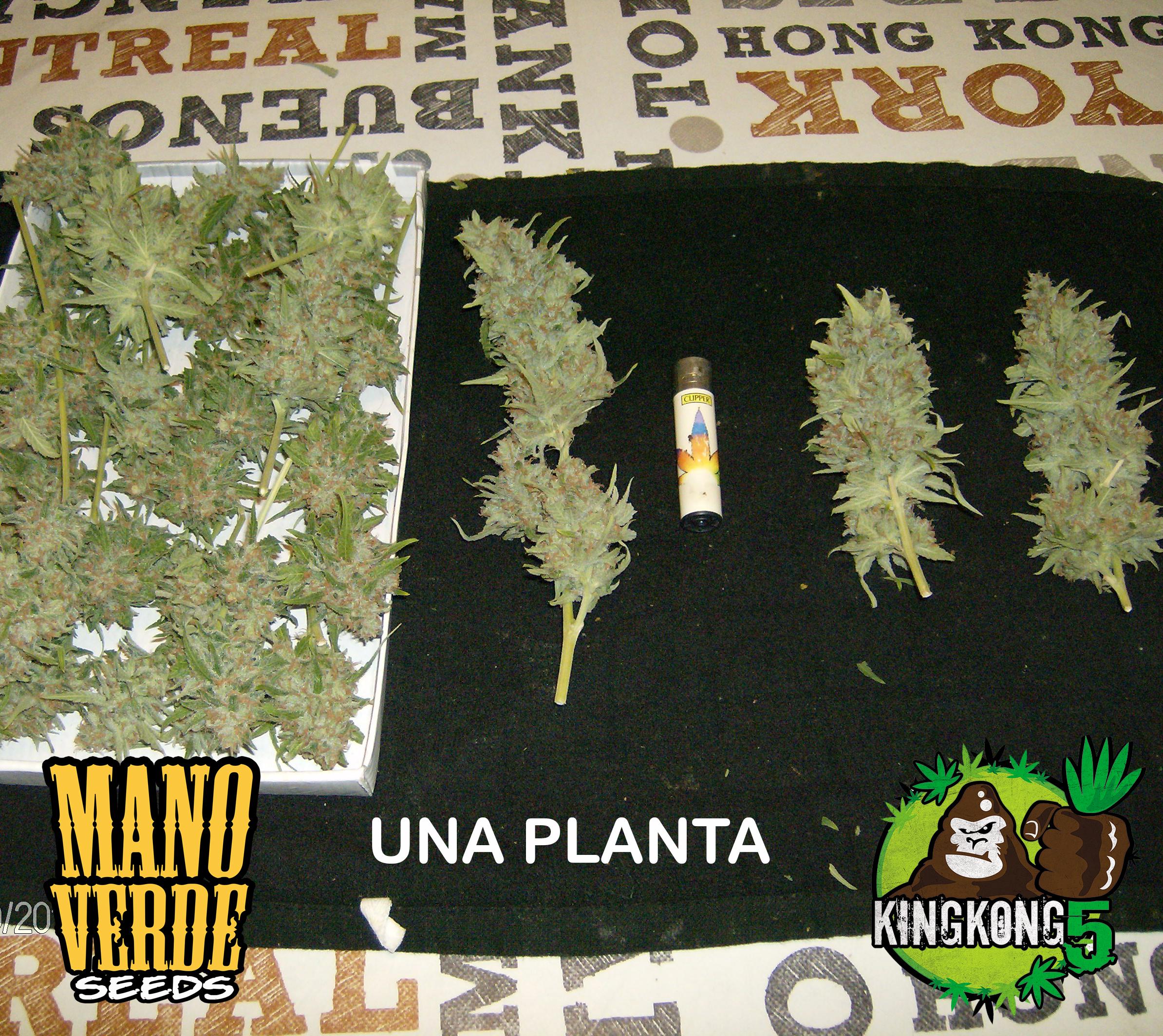 King Kong Five Manoverde Seeds 76C