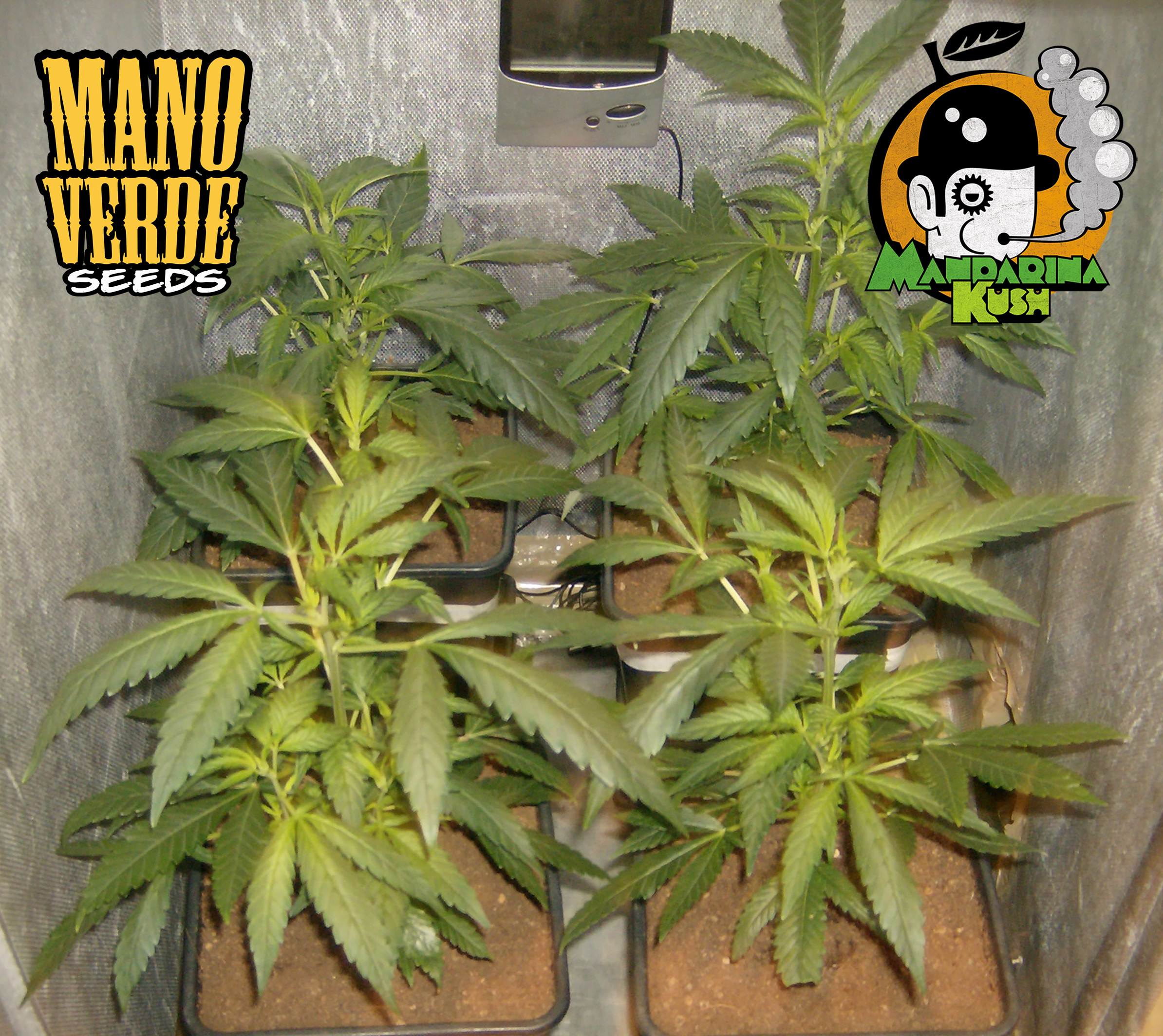 Mandarina Kush Manoverde Seeds 14F-150