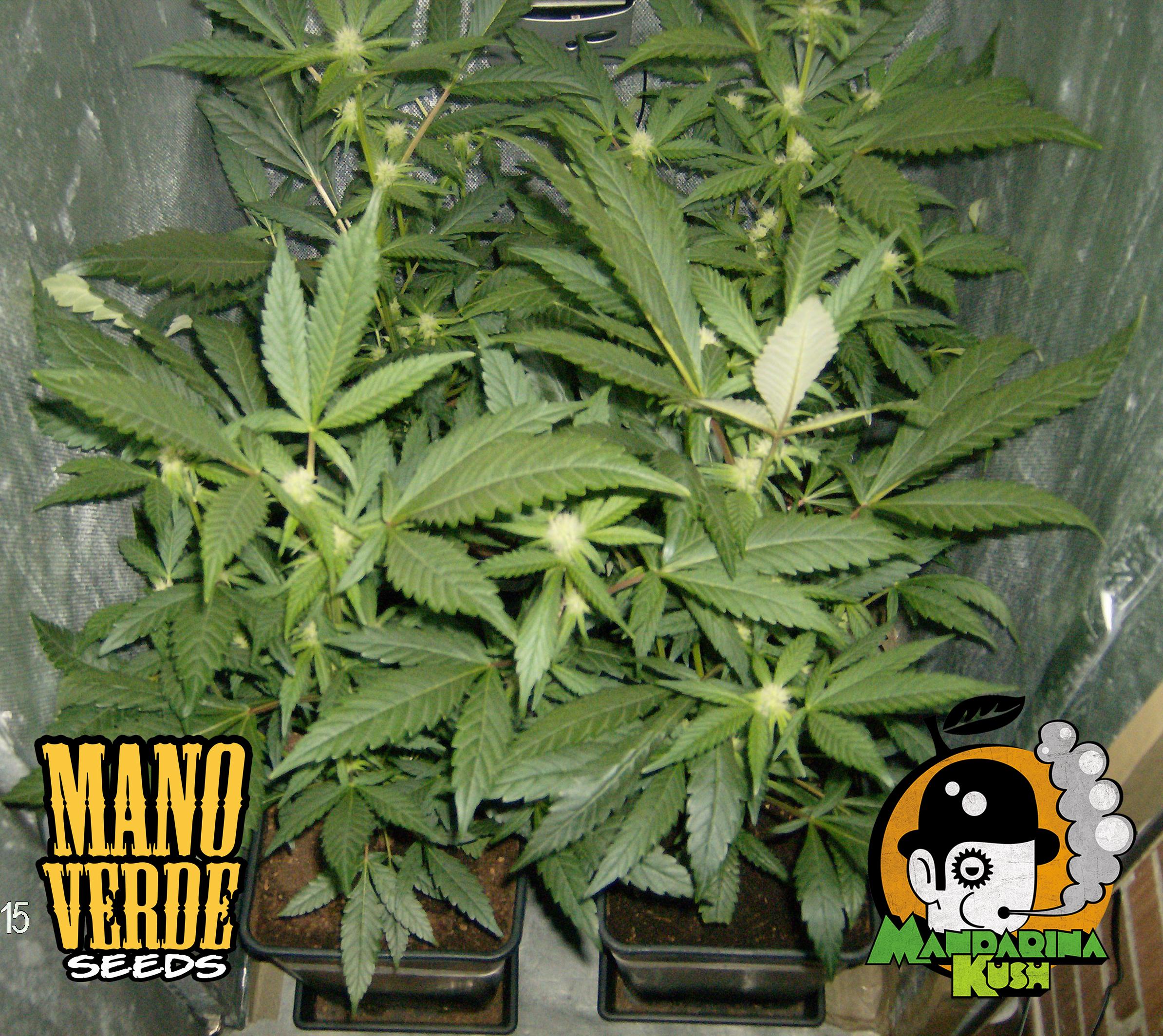 Mandarina Kush Manoverde Seeds 24F-150