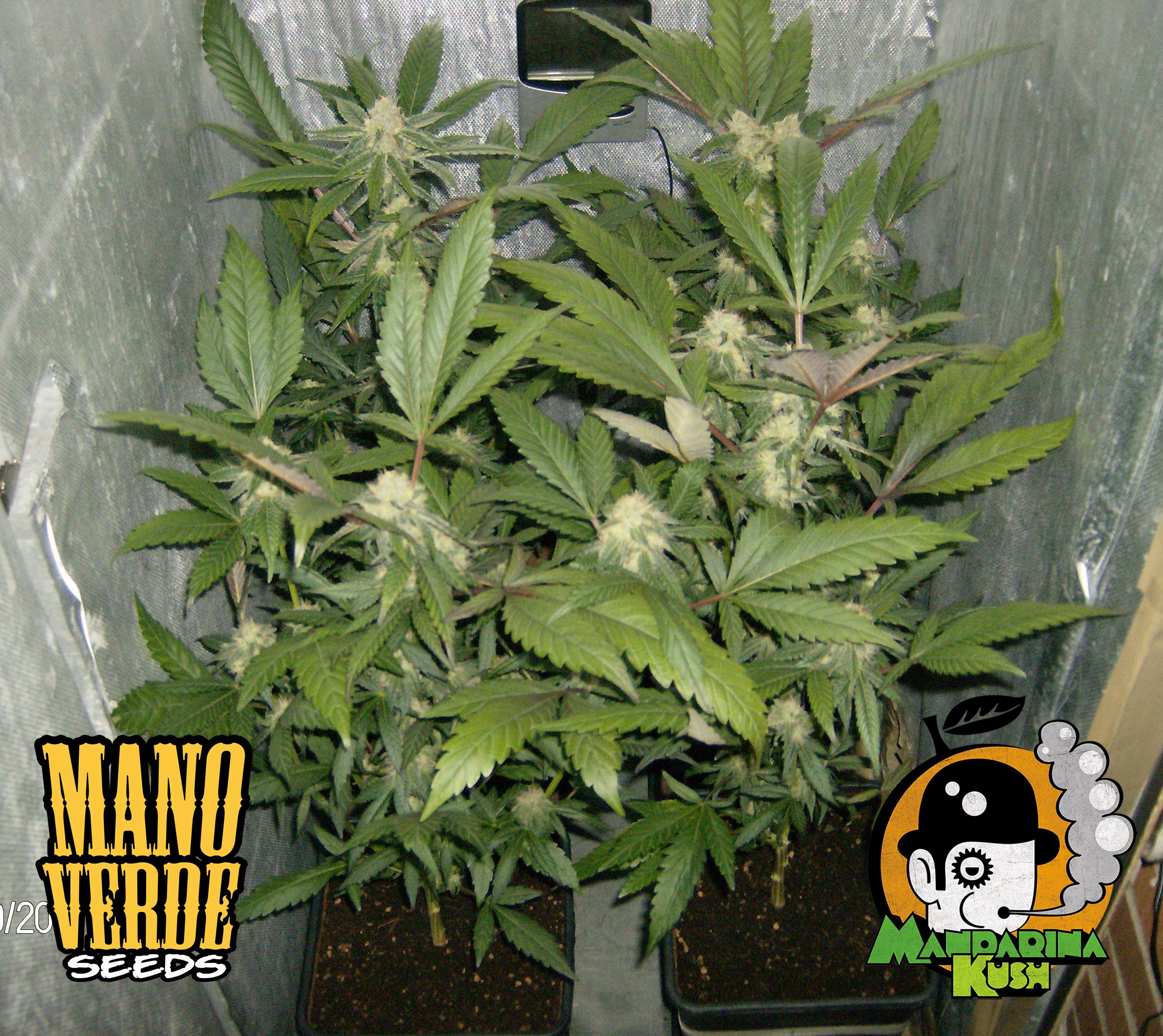Mandarina Kush Manoverde Seeds 34F-150