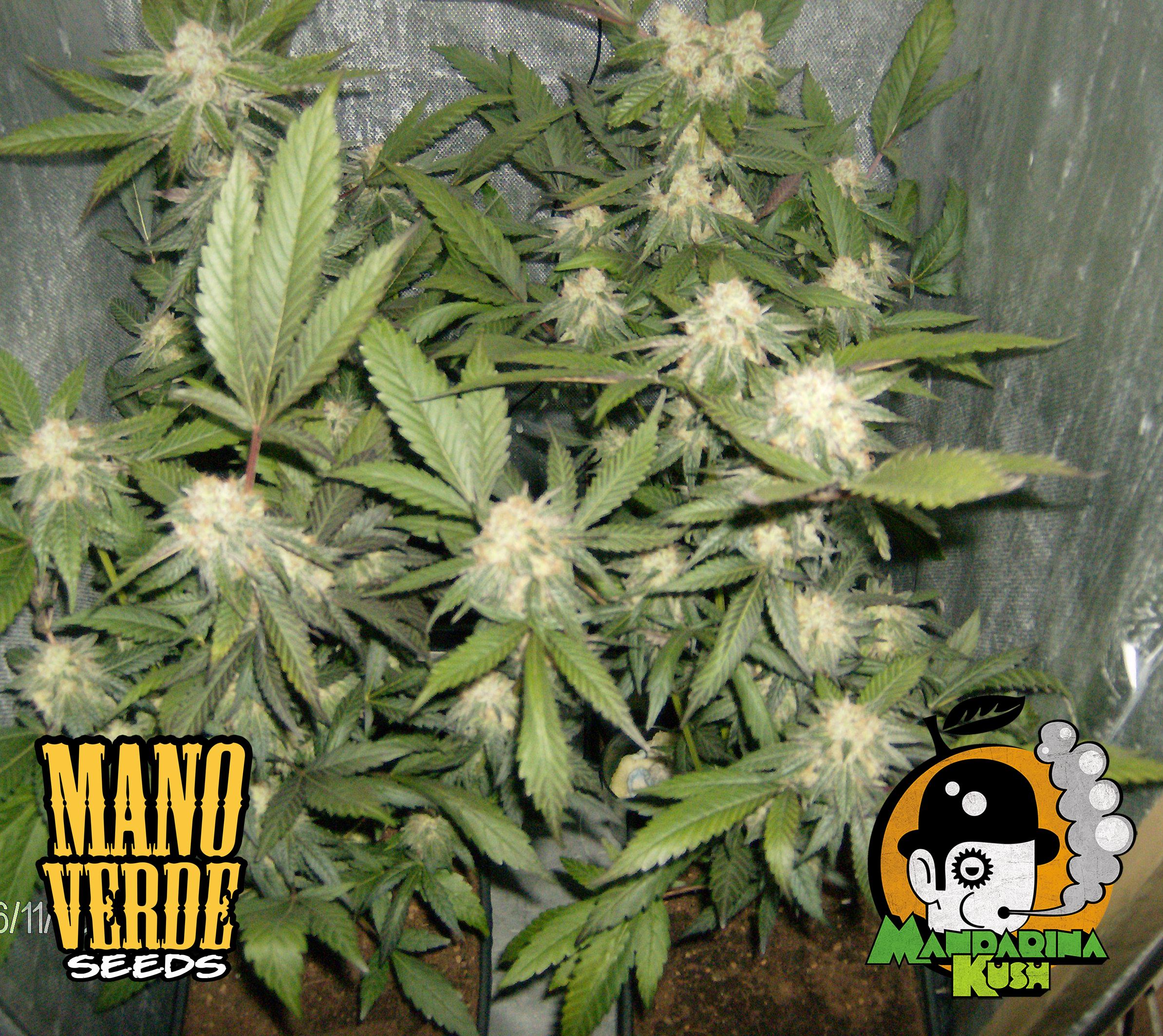 Mandarina Kush Manoverde Seeds 40F-150