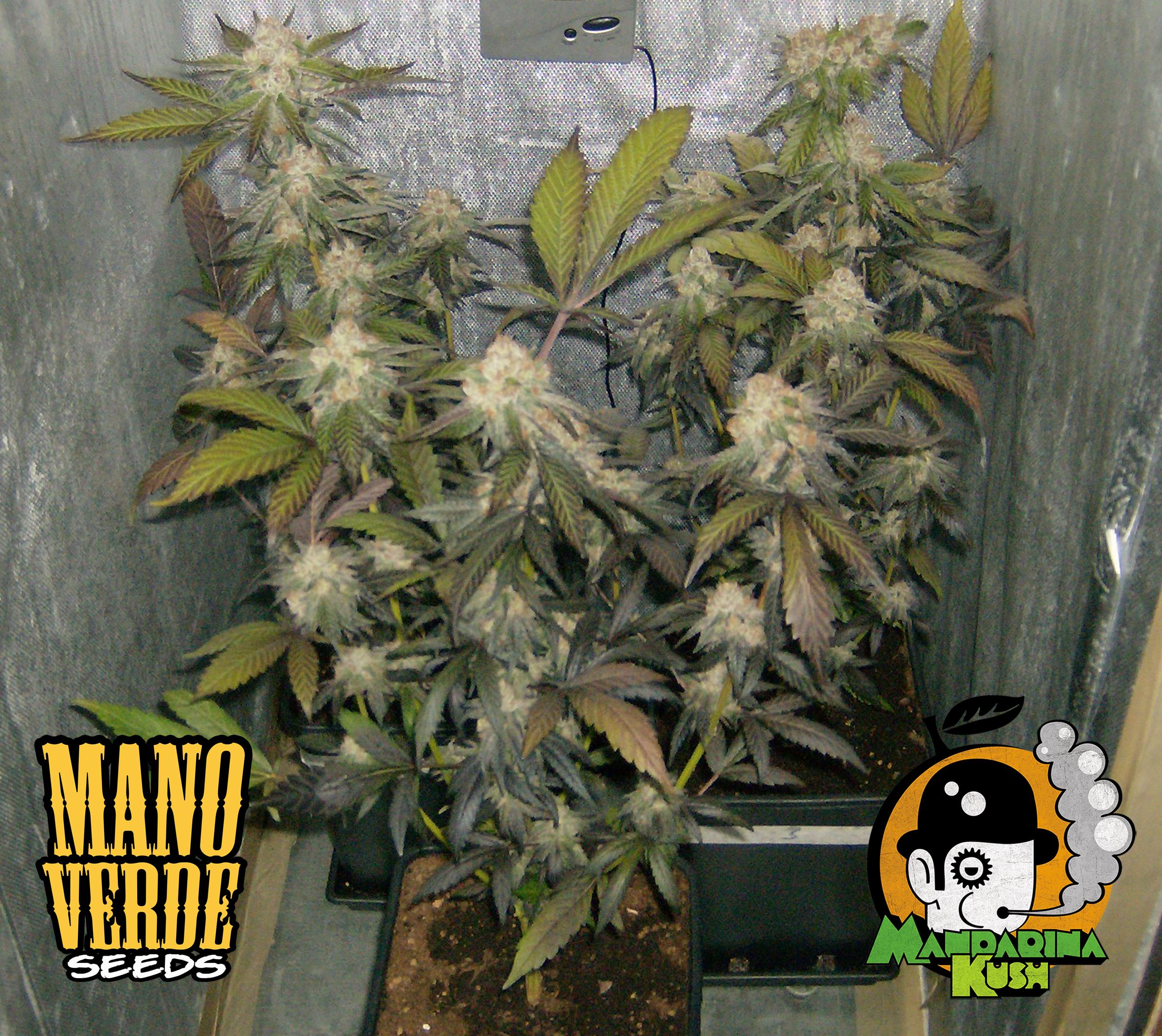 Mandarina Kush Manoverde Seeds 46F-150