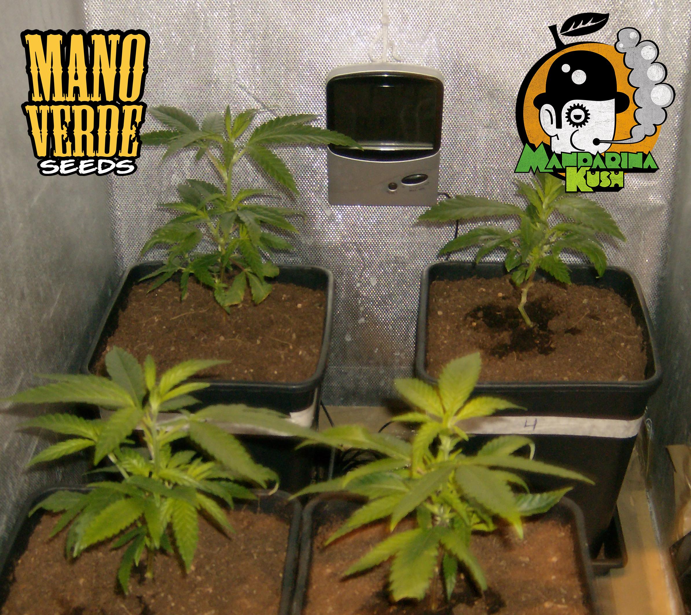 Mandarina Kush Manoverde Seeds 7F-150
