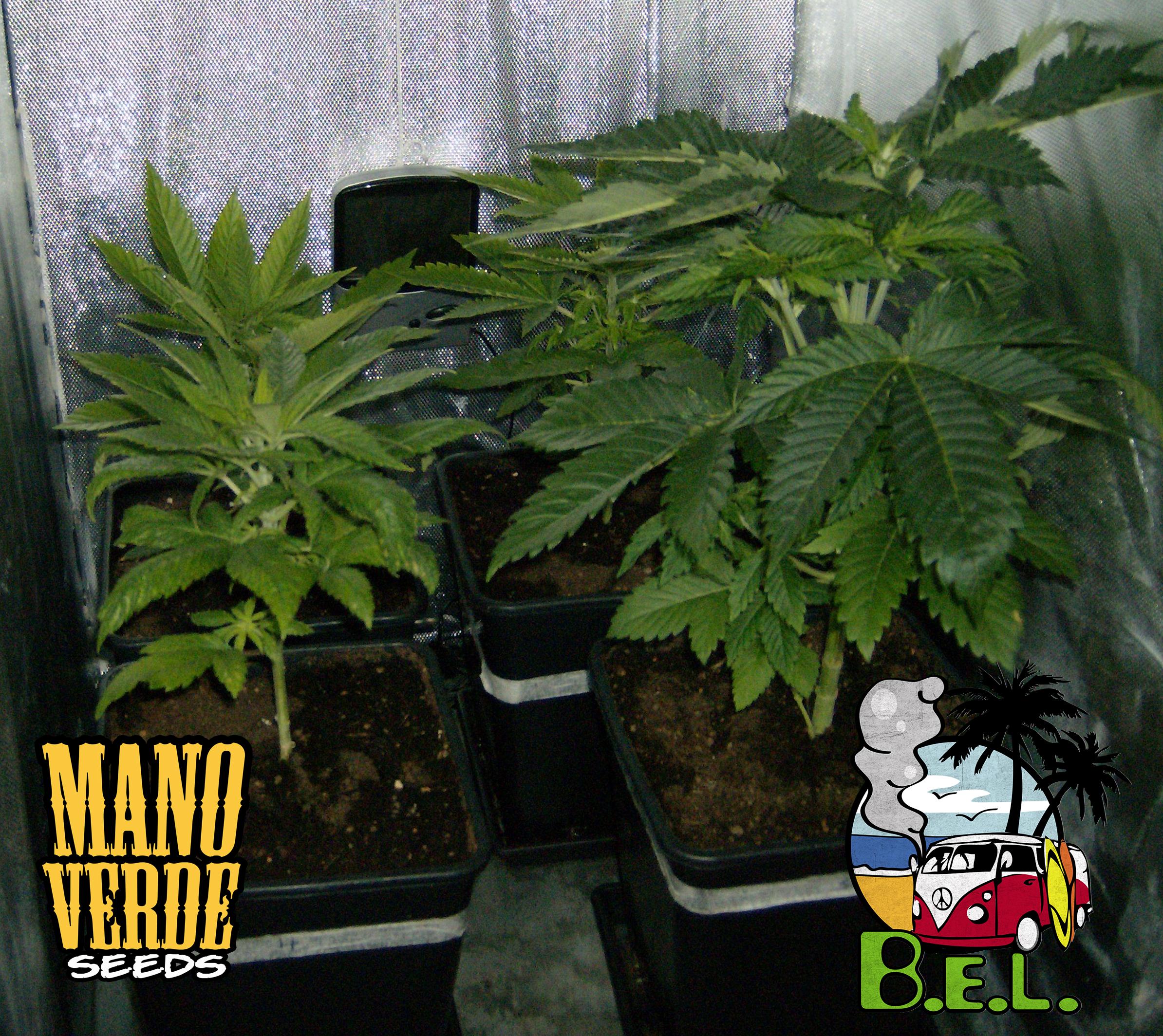 B.E.L. Manoverde Seeds 18C-6F - 230