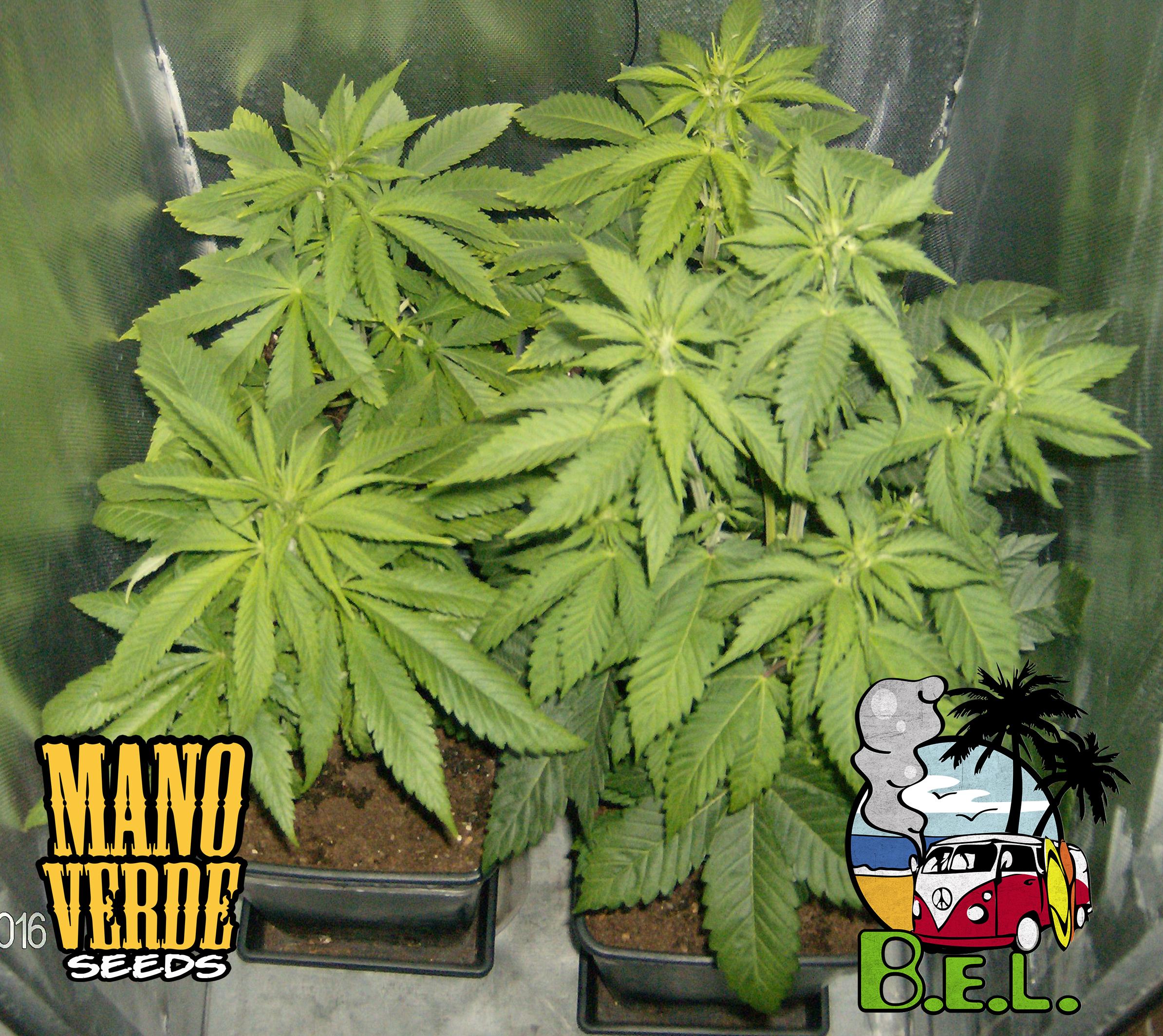 B.E.L. Manoverde Seeds 26C-14F - 230