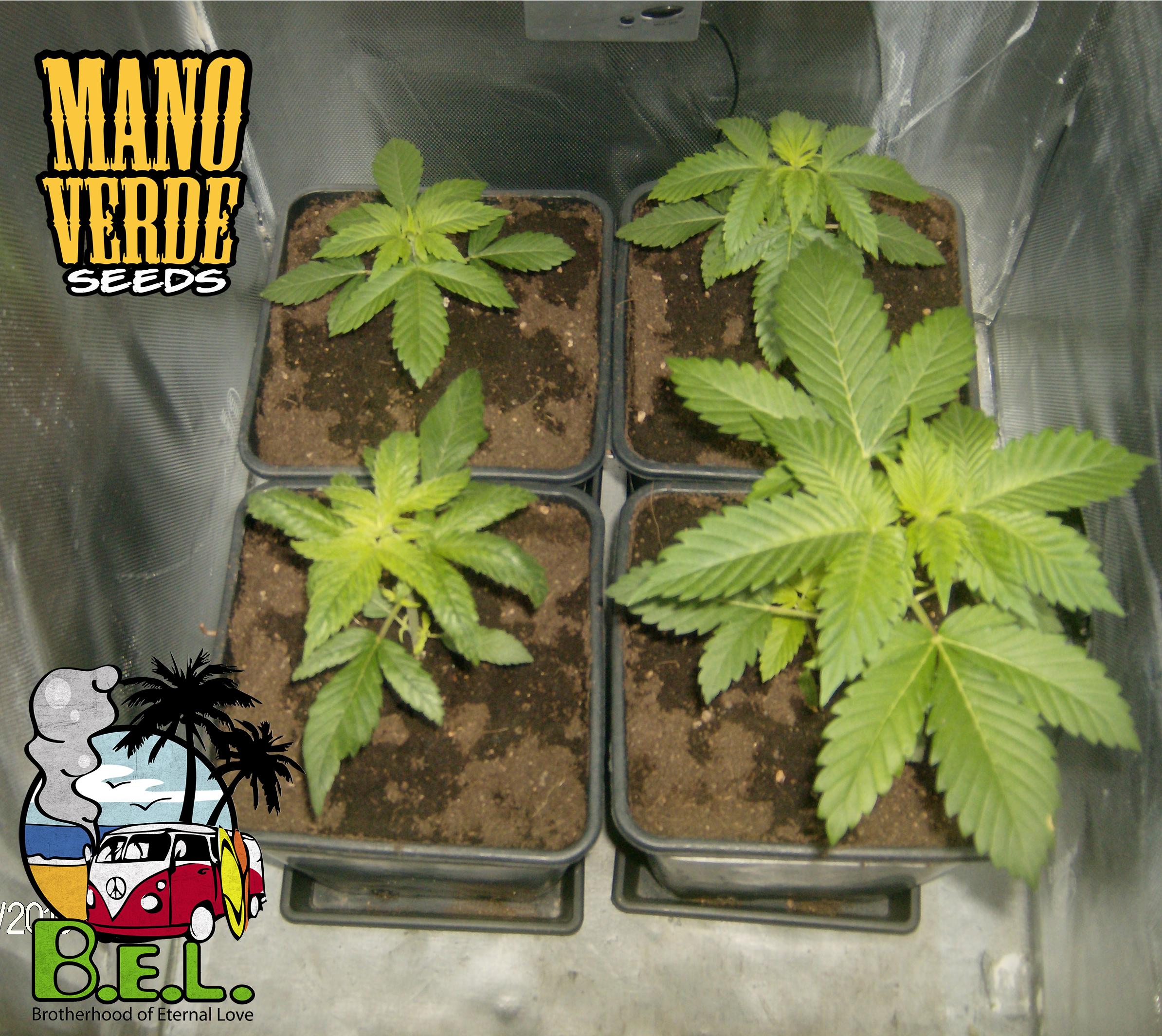 B.E.L. Manoverde Seeds 7C - 230