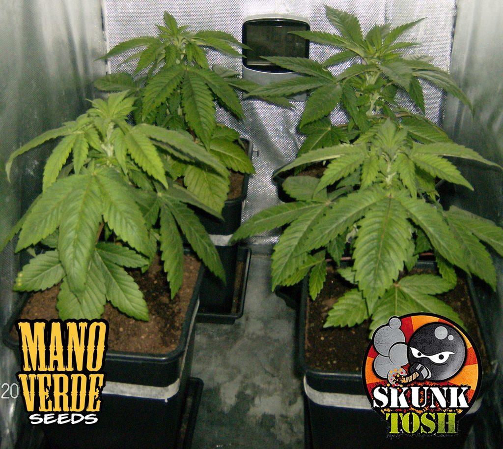 SKUNK HAZE Manoverde Seeds 21C-14F - 230
