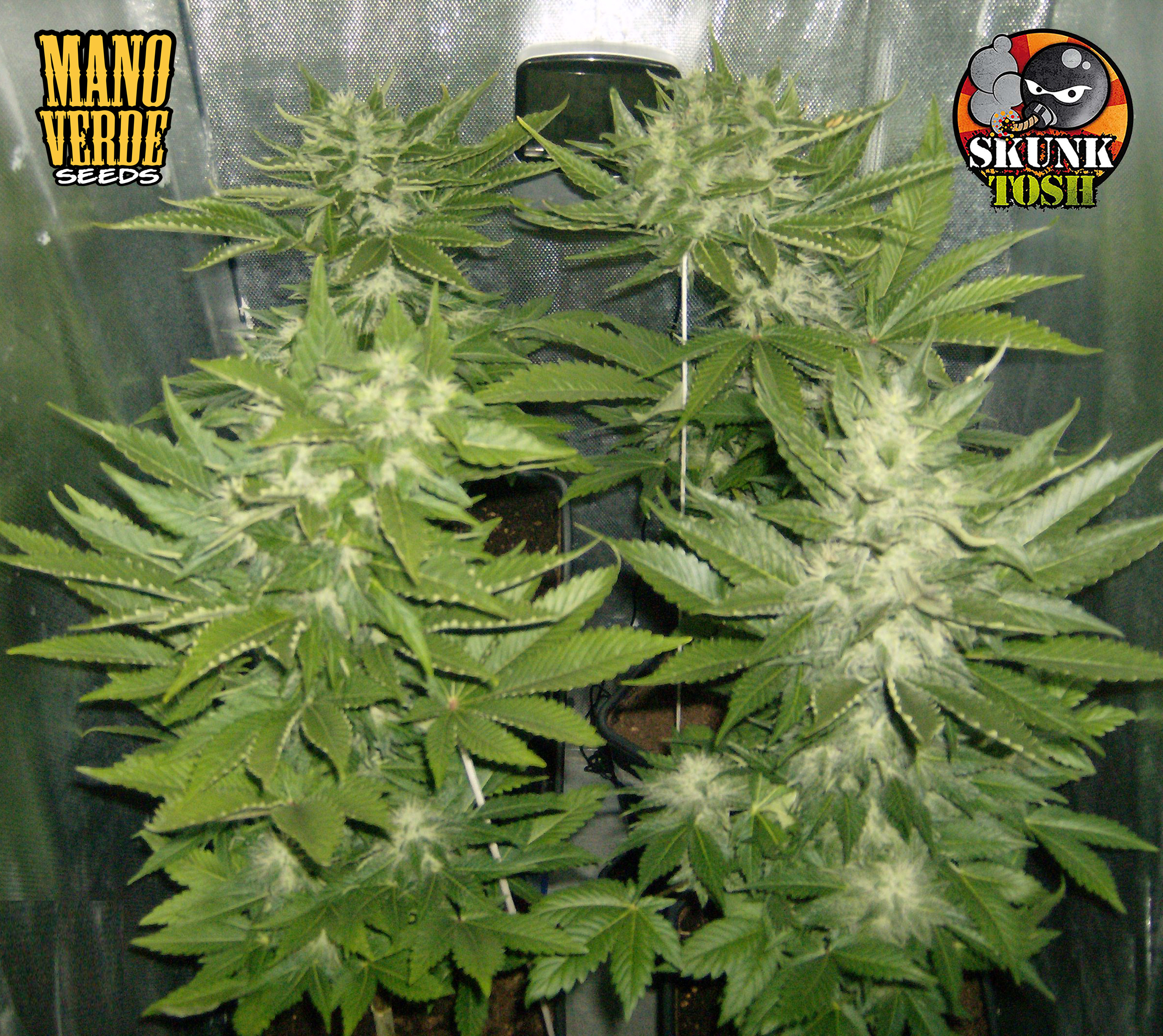 SKUNK HAZE Manoverde Seeds 51C-44F - 230