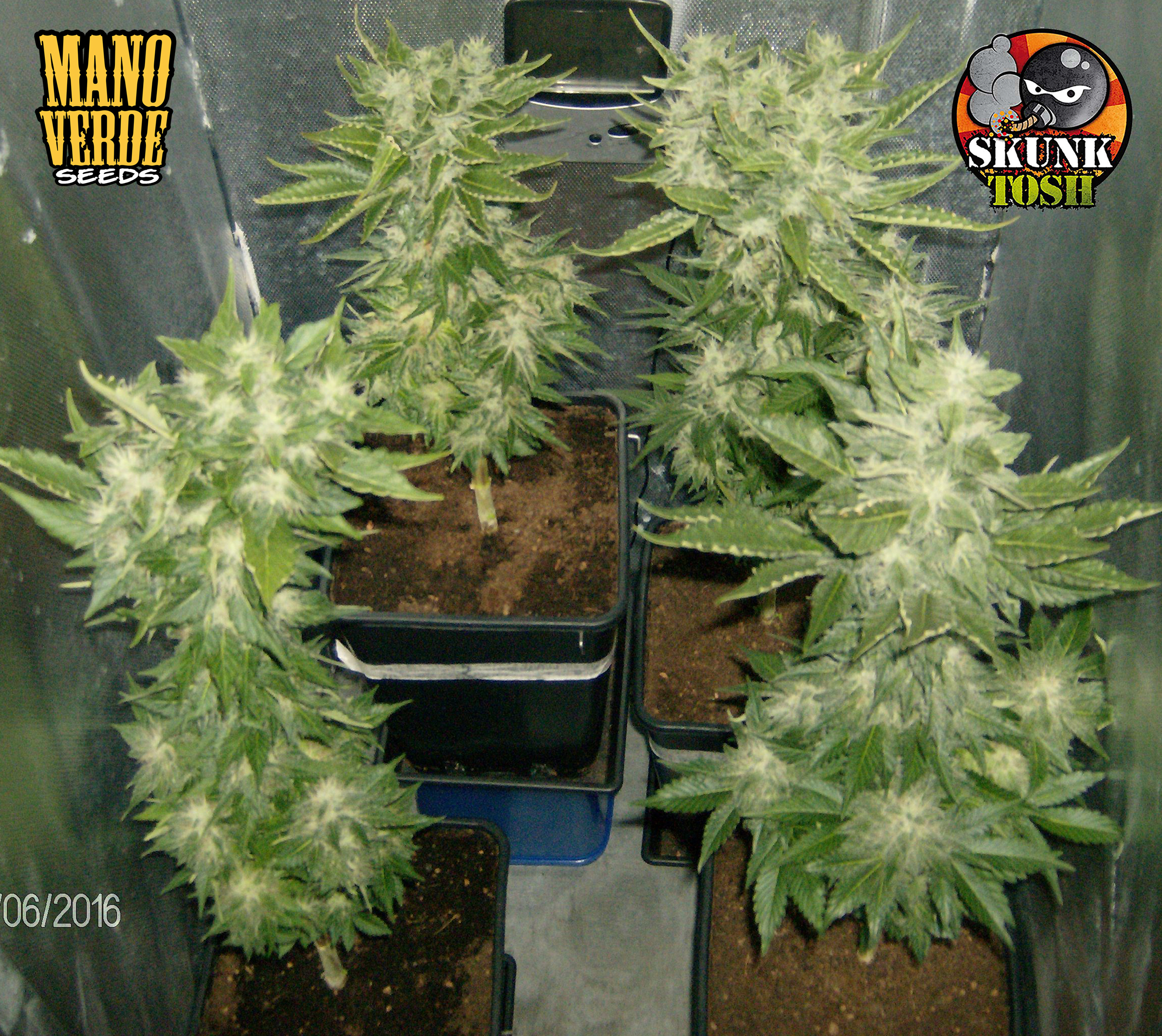 SKUNK HAZE Manoverde Seeds 65C-58F - 230