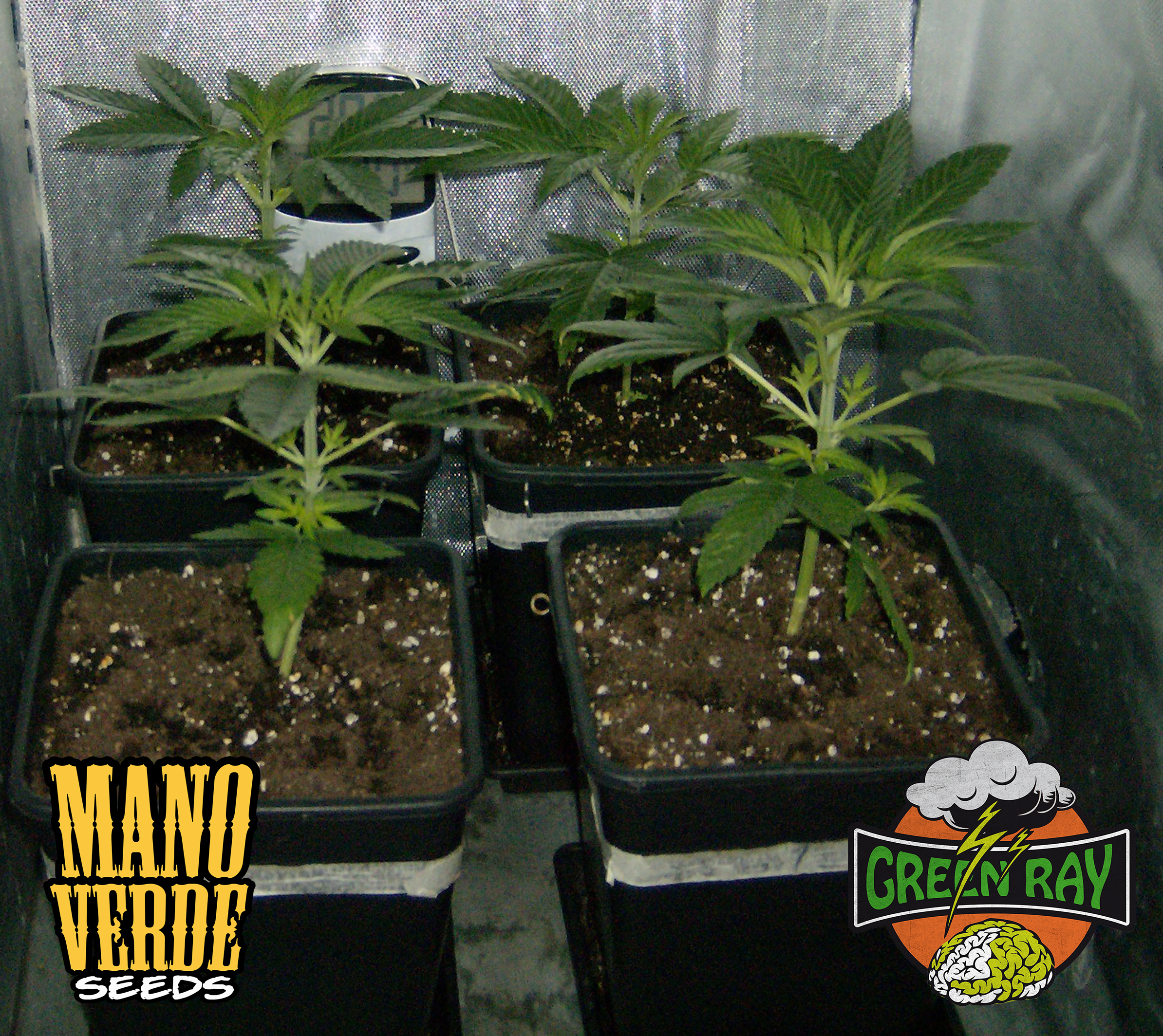 Green Ray Manoverde Seeds 24C-2F-230
