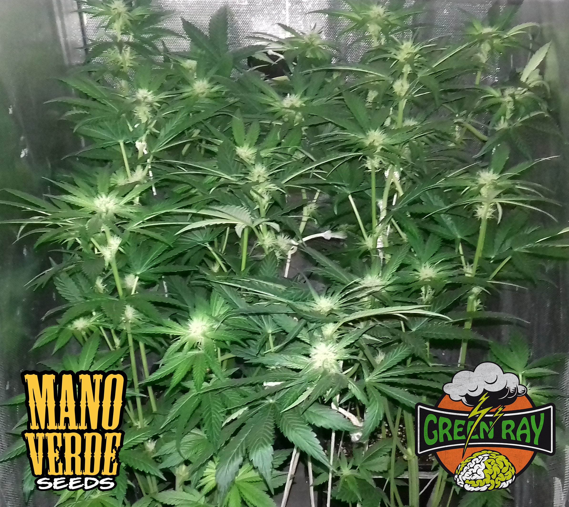 Green Ray Manoverde Seeds 45C-23F-230