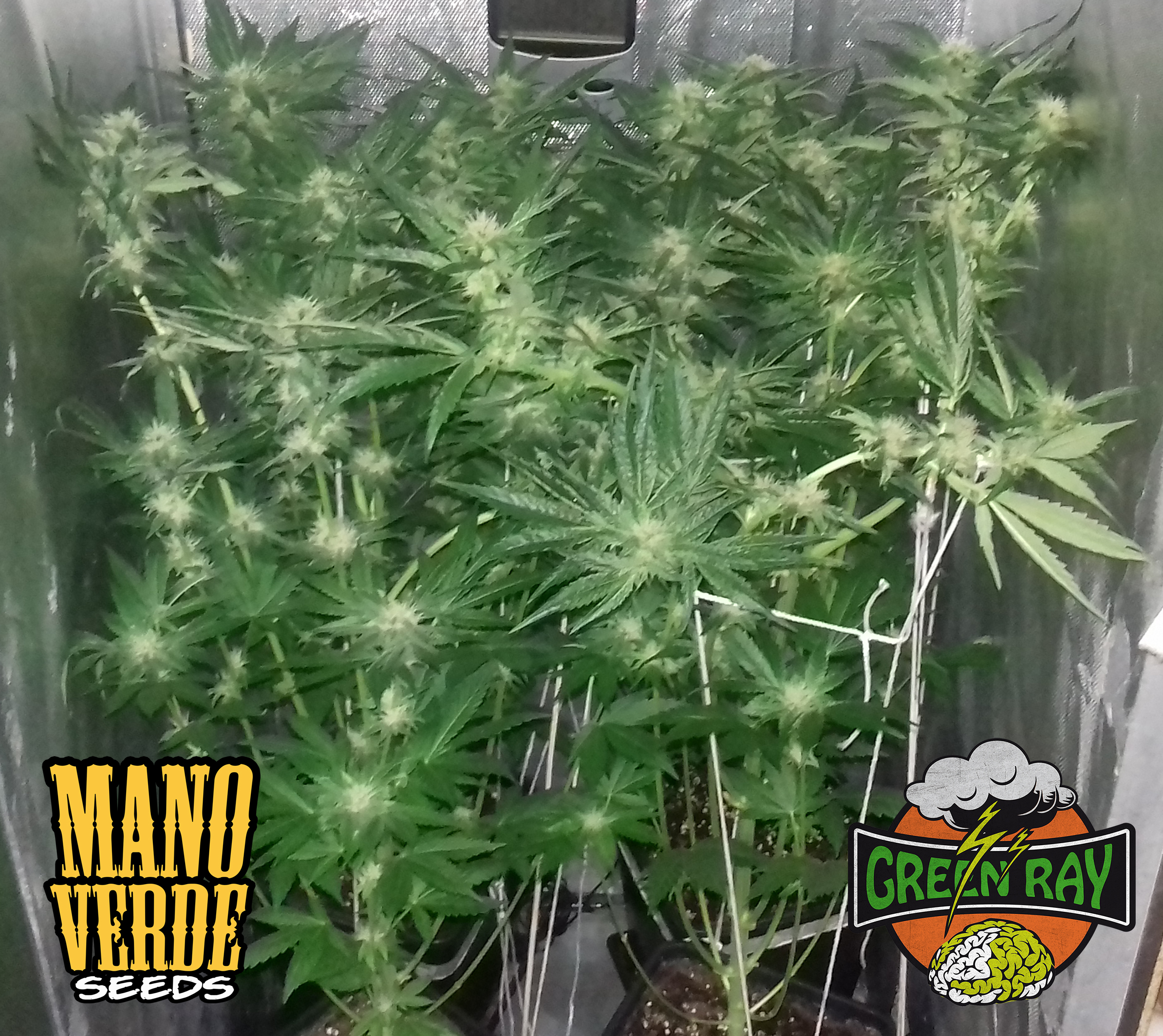 Green Ray Manoverde Seeds 54C-32F-230