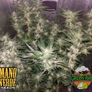 Green Ray Manoverde Seeds 64C-42F-230