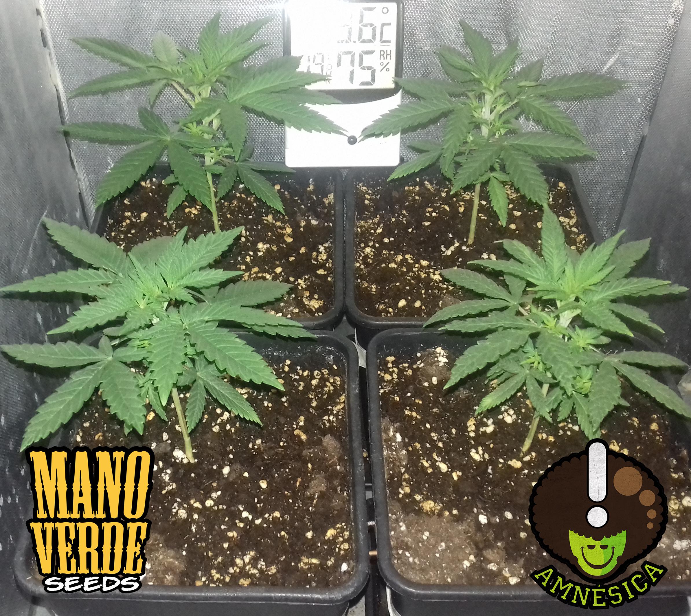 amnesica-manoverde-seeds-16c-7f-230