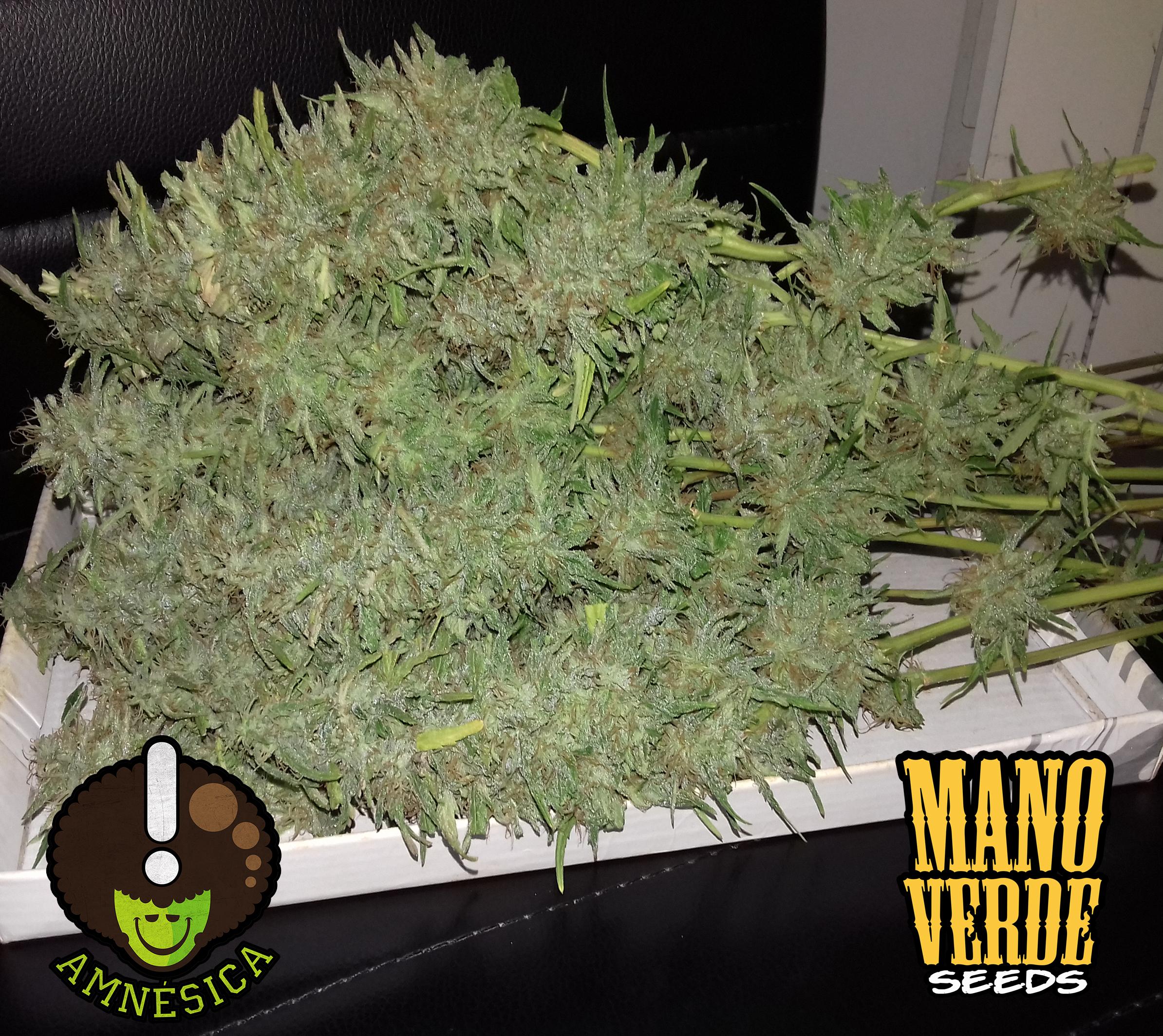 amnesica-manoverde-seeds-75f-230
