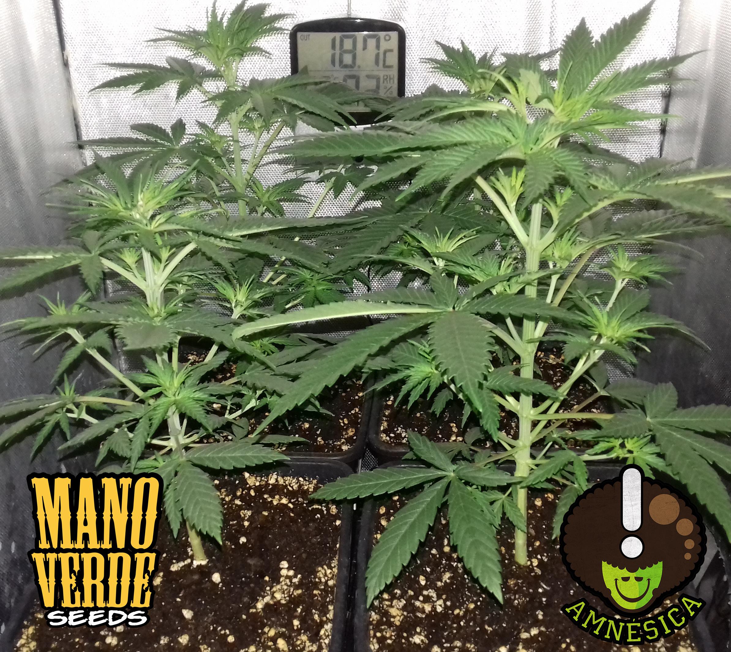 amnesica-manoverde-seeds-23c-14f-230