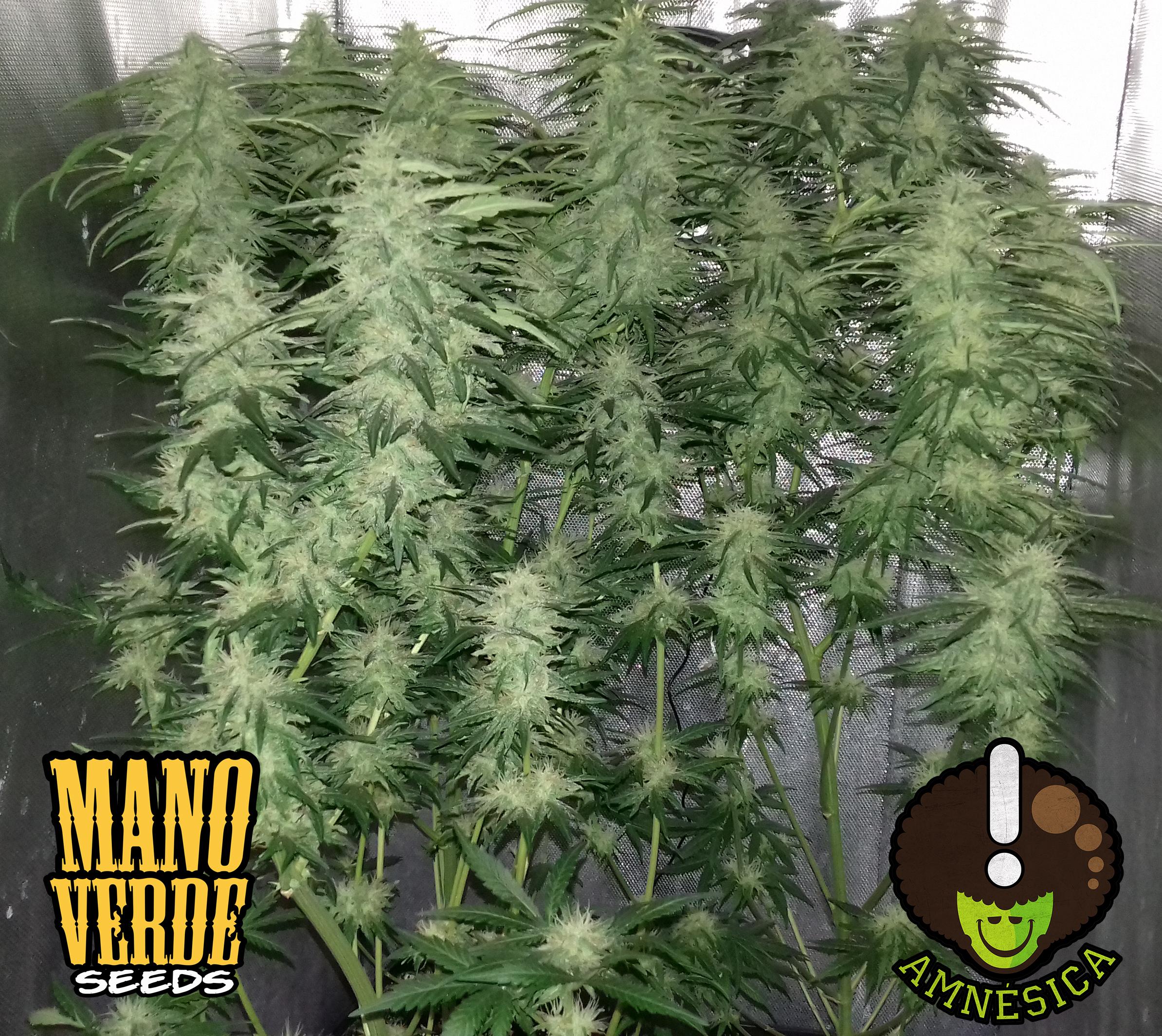 amnesica-manoverde-seeds-68c-59f-230
